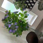紫陽花でお出迎え
